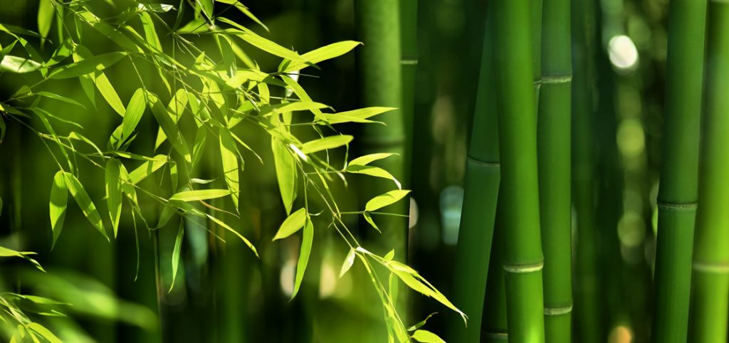 Bamboo Culms and Leaves